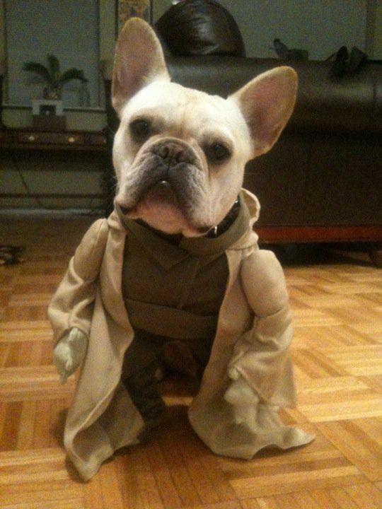 Yoda Frenchie