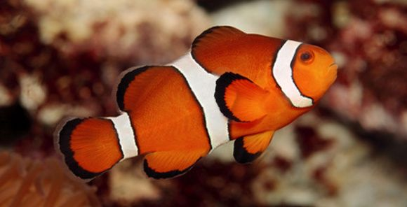Ocellaris Clownfish Amphiprion Ocellaris Clown Fish Mandarin Fish Saltwater Aquarium Fish