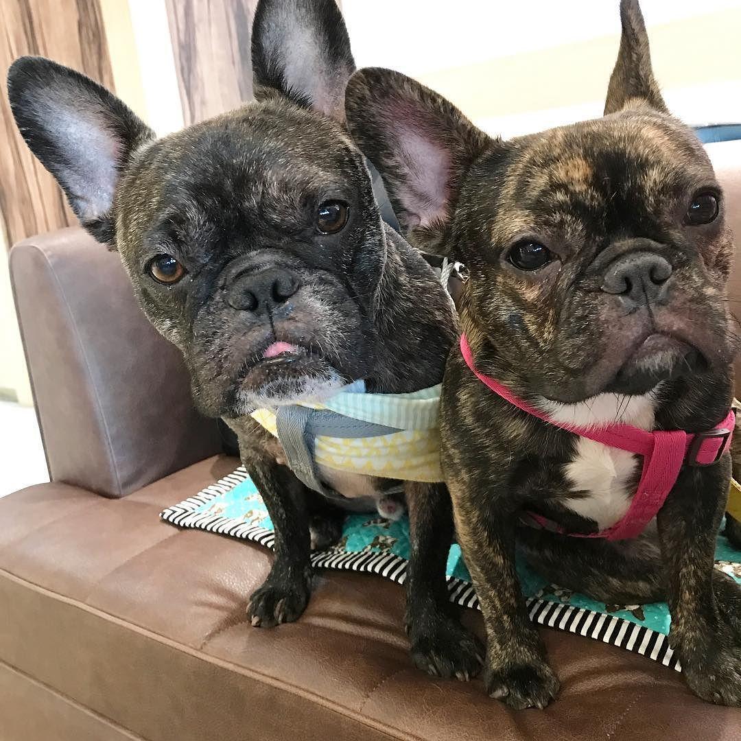 眠気と食欲が戦うむんつむ Buhi Dog Frenchbulldogs フレンチブルドッグ 多頭飼い 黒ブヒ隊 ドトールコーヒー ペット同伴可 漫画でも読もうかな French Bulldog Bulldog Cute Animals