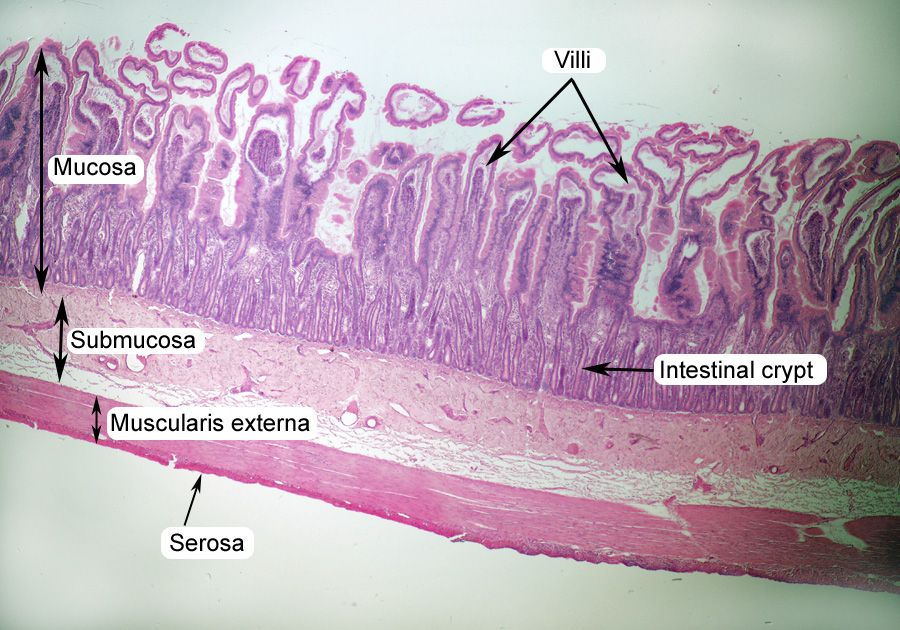 small intestine histology labeled | lab practical pics ...