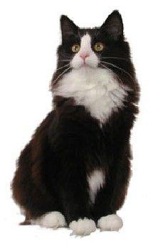 Norwegian Forest Cat Black With White More At Catsincare Com