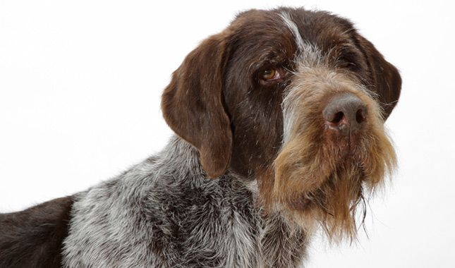 Everything You Want To Know About German Shorthaired