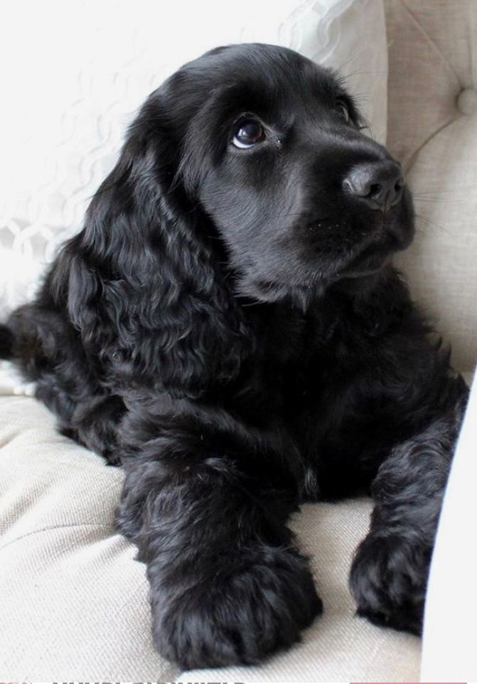 Cocker Spaniel Puppies Grow Into Such Loyal Friends In 2020 Cocker Spaniel Puppies Cute Little Animals Black Cocker Spaniel Puppies