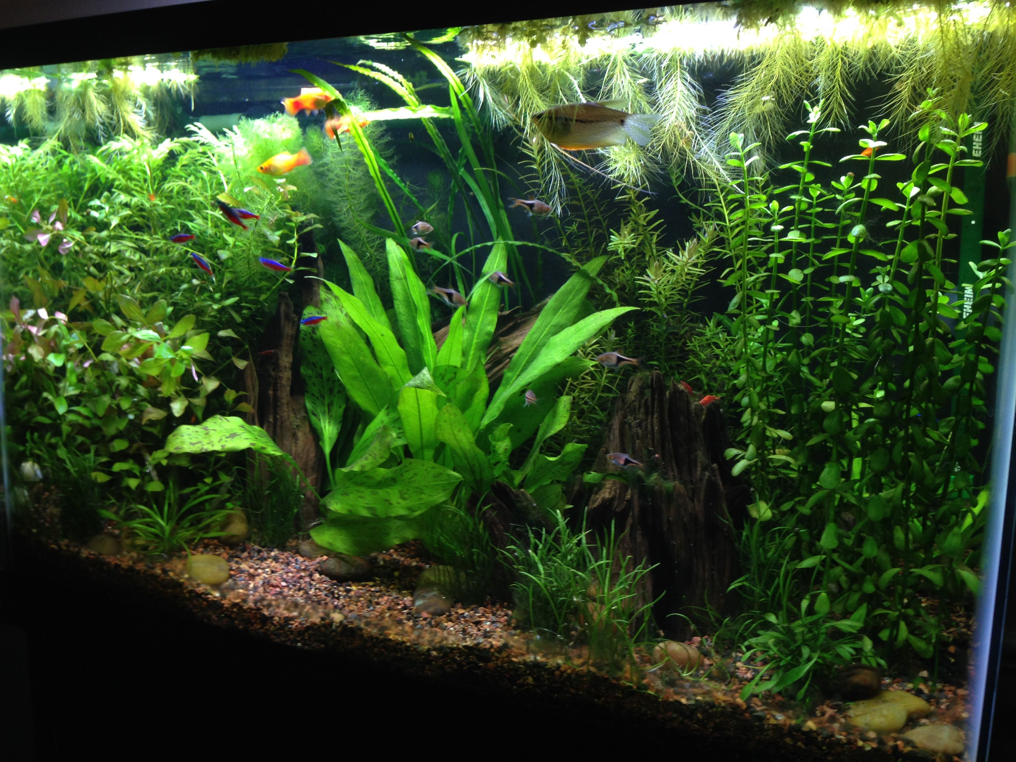 Tank Inspiration 29 Gallon Fw Planted Community Tank Community Tanks Planted Aquarium Amazing Aquariums