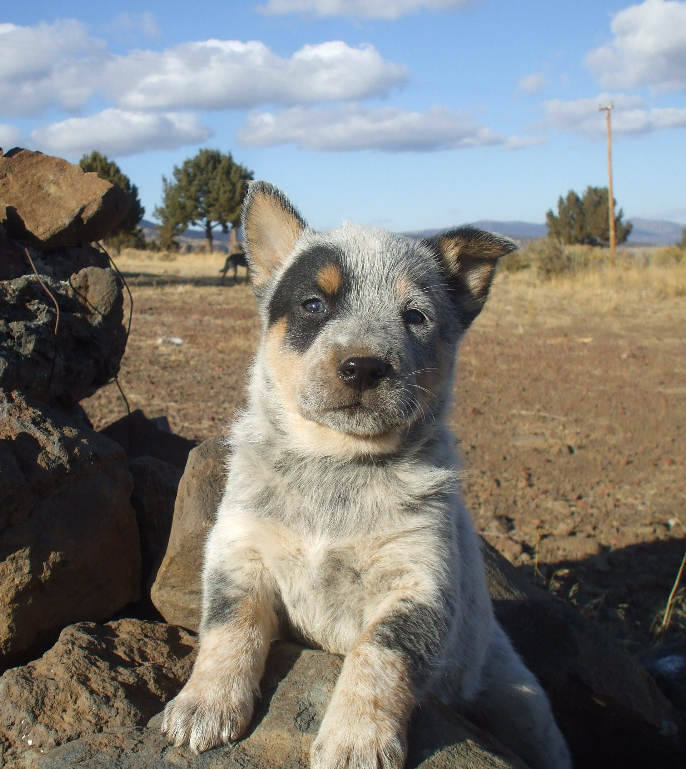 batman blue heeler puppy cattle dogs rule. Black Bedroom Furniture Sets. Home Design Ideas