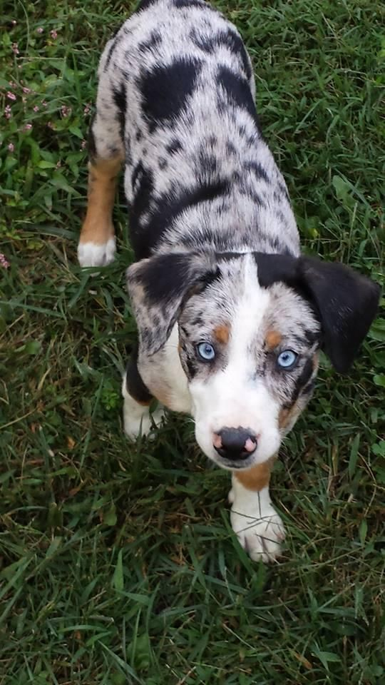 Adopt Nala On Petfinder Australian Shepherd Puppy Adoption Beagle Mix