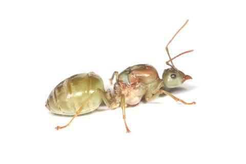 ツムギアリ Oecophylla Smaragdina Biyoteknoloji