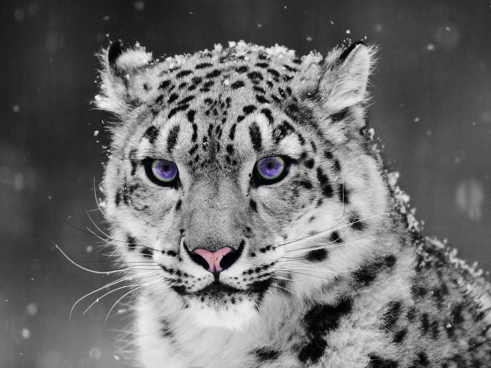 Purple eyes even prettier than blue eyes Leopard