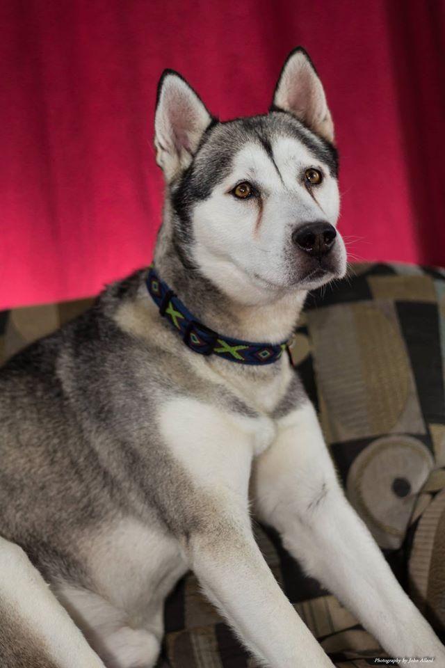 Adopt Rocket On Siberian Husky Dog Dogs Siberian Husky Rescue