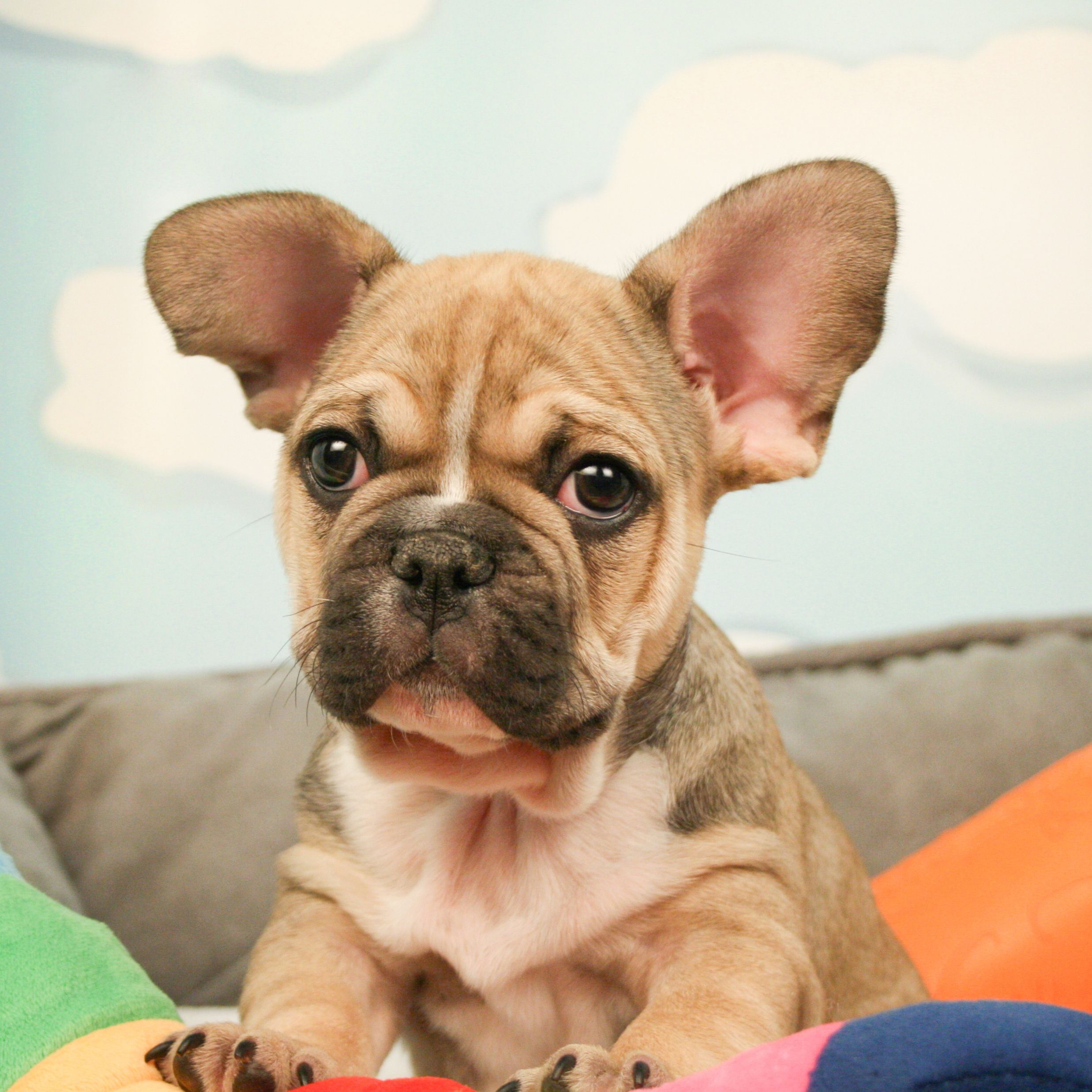 French Bulldogs Are Always Charmers And This Adorable Guy Is No Exception French Bulldog French Bulldog Puppies Bulldog Puppies For Sale