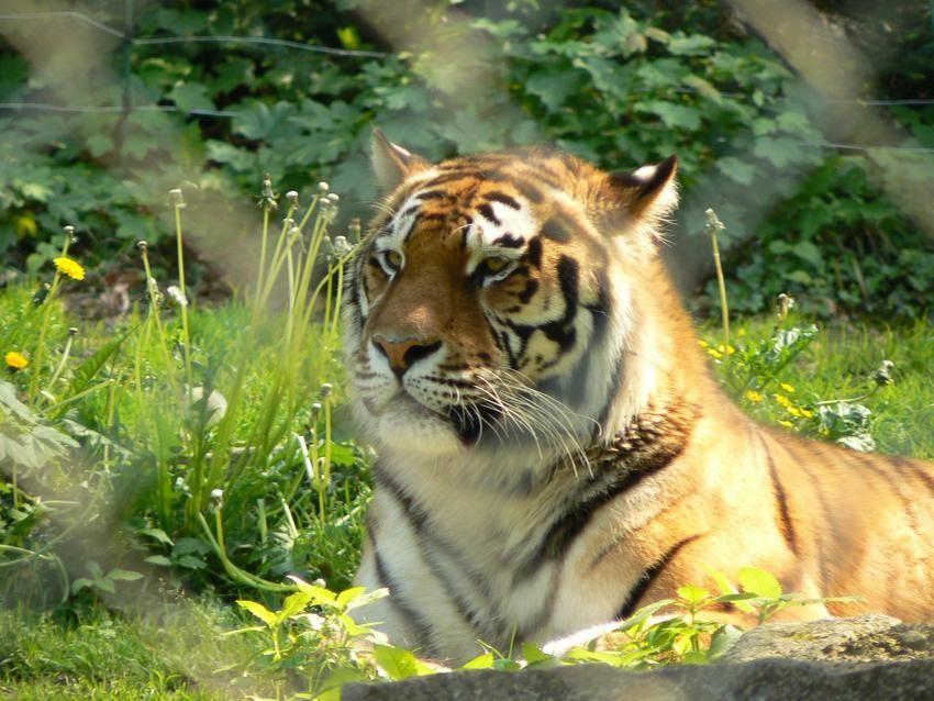tigre zoo de mulhouse zoo de mulhouse pinterest animal. Black Bedroom Furniture Sets. Home Design Ideas