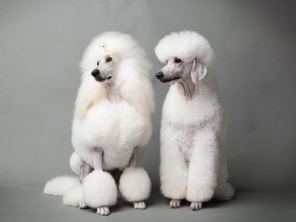 The Most Pampered Pooches On The North Shore Poodle Dog Pretty