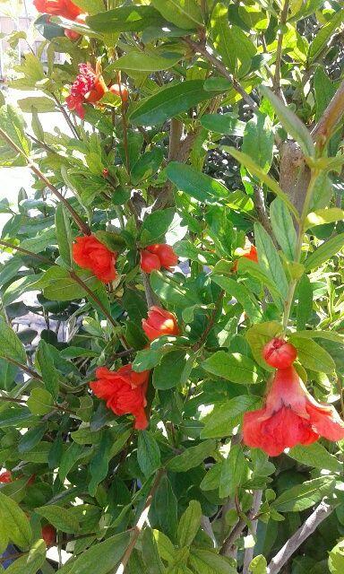 Punica granatum o granado en flor