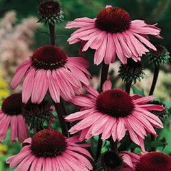 The Echinacea 'Magnus' Coneflower, Echinacea purpurea, also known as Purple Coneflower, Hedge coneflower, and Black Sampson, gardening, landscaping