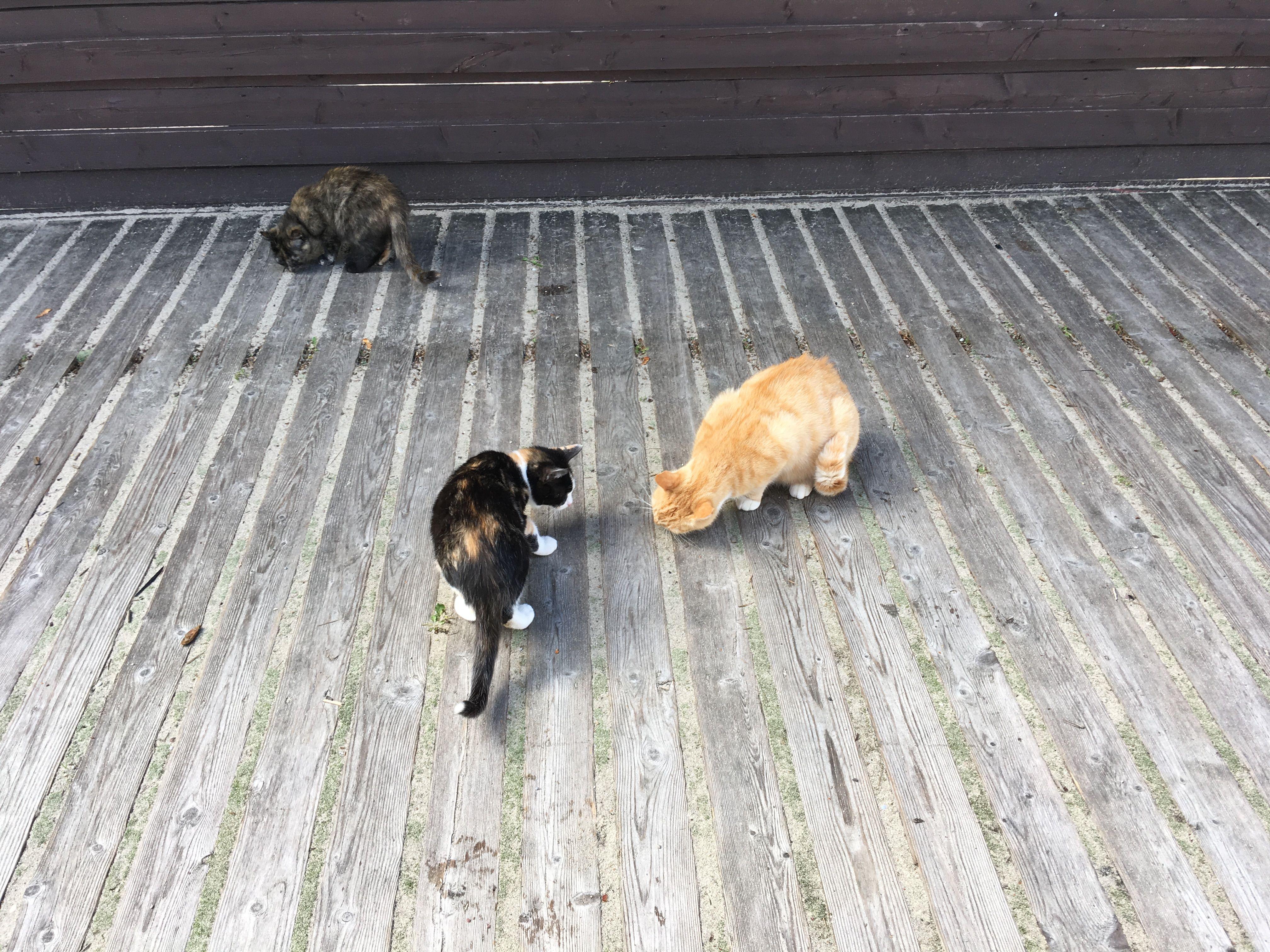 Коты доедают остатки курицы