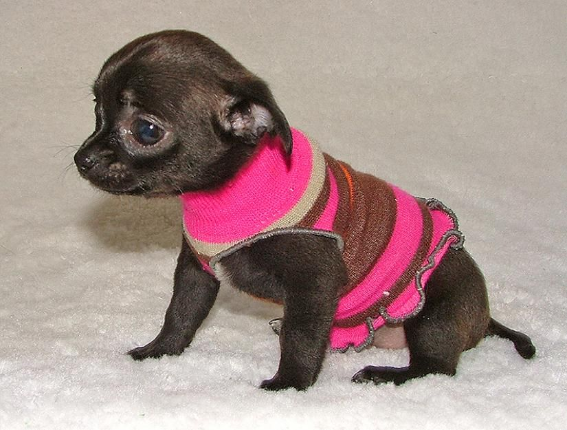 Black Beauty Female Applehead Chihuahua Puppy Best Price