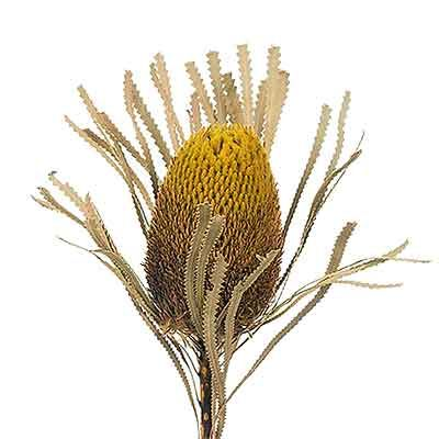 Dried Banksia Flower Yellow Dried Flowers Grass Painting Flowers