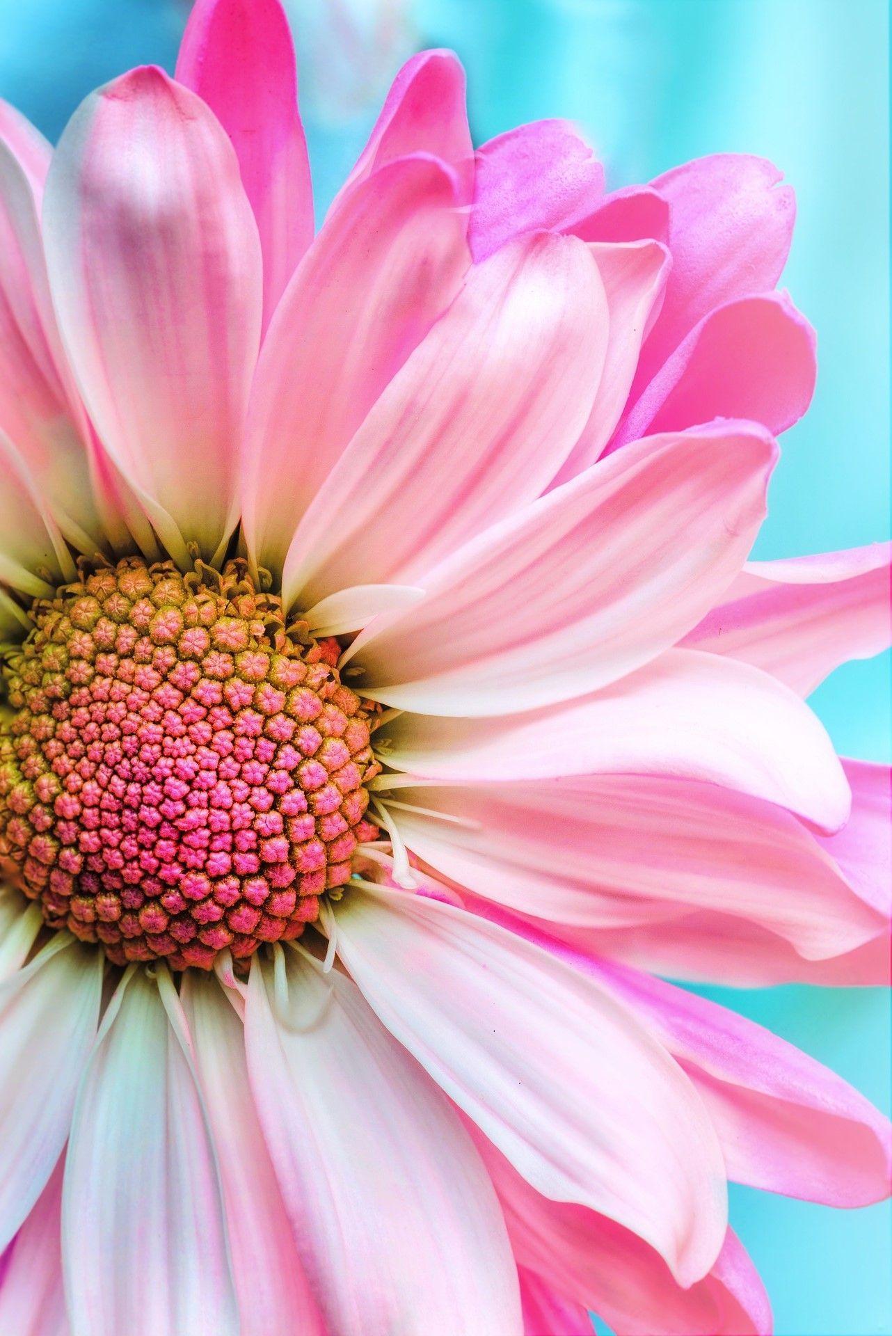 Pink Flowers pinkflowerwallpaperiphone Sunflower