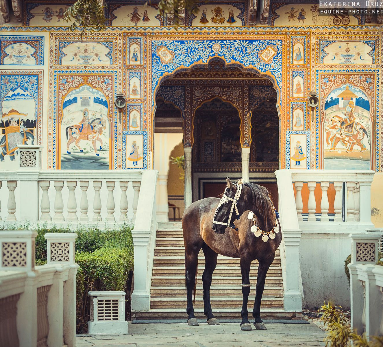 Indian horse breed Marwari, photographed in India by Ekaterina Druz Equine Photography