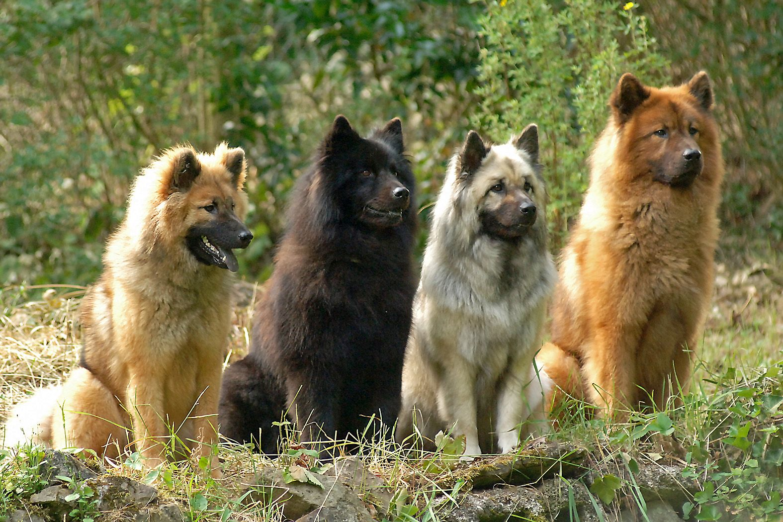 The Eurasier Sometimes Referred To As Eurasian Is A Breed Of Dog Of Spitz Type That Originated In Germany It Is Widely Know Eurasian Dog Eurasier Dog Breeds