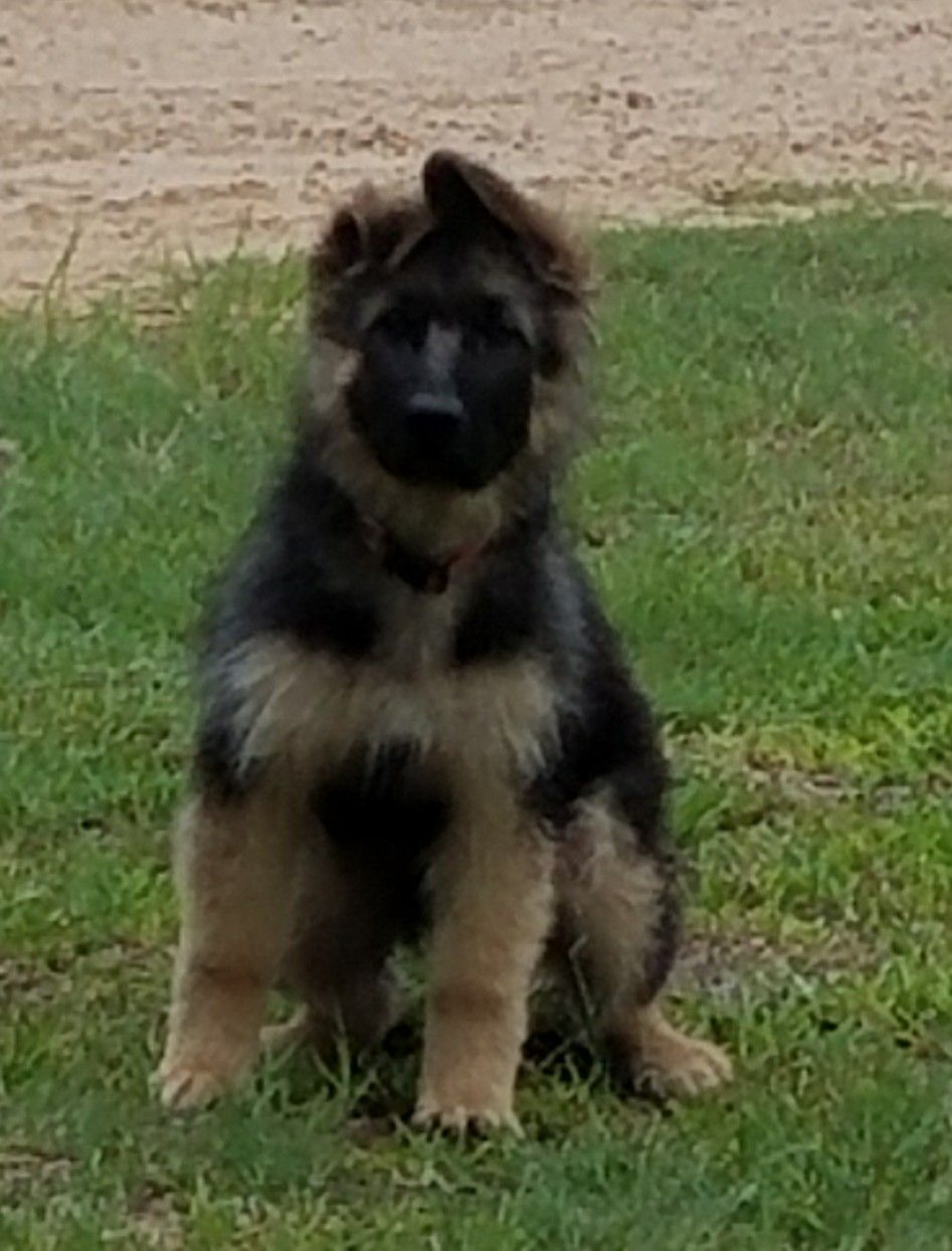 13 Week Old Long Coat German Shepherd Puppy Female Black And Tan