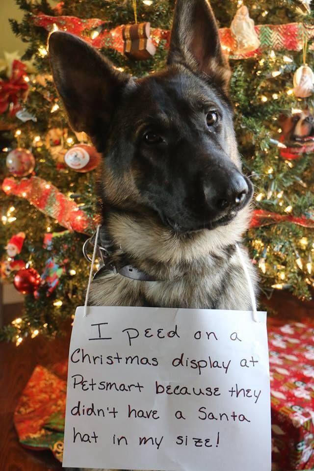 German Shepherd Christmas shaming. Love it Dog shaming