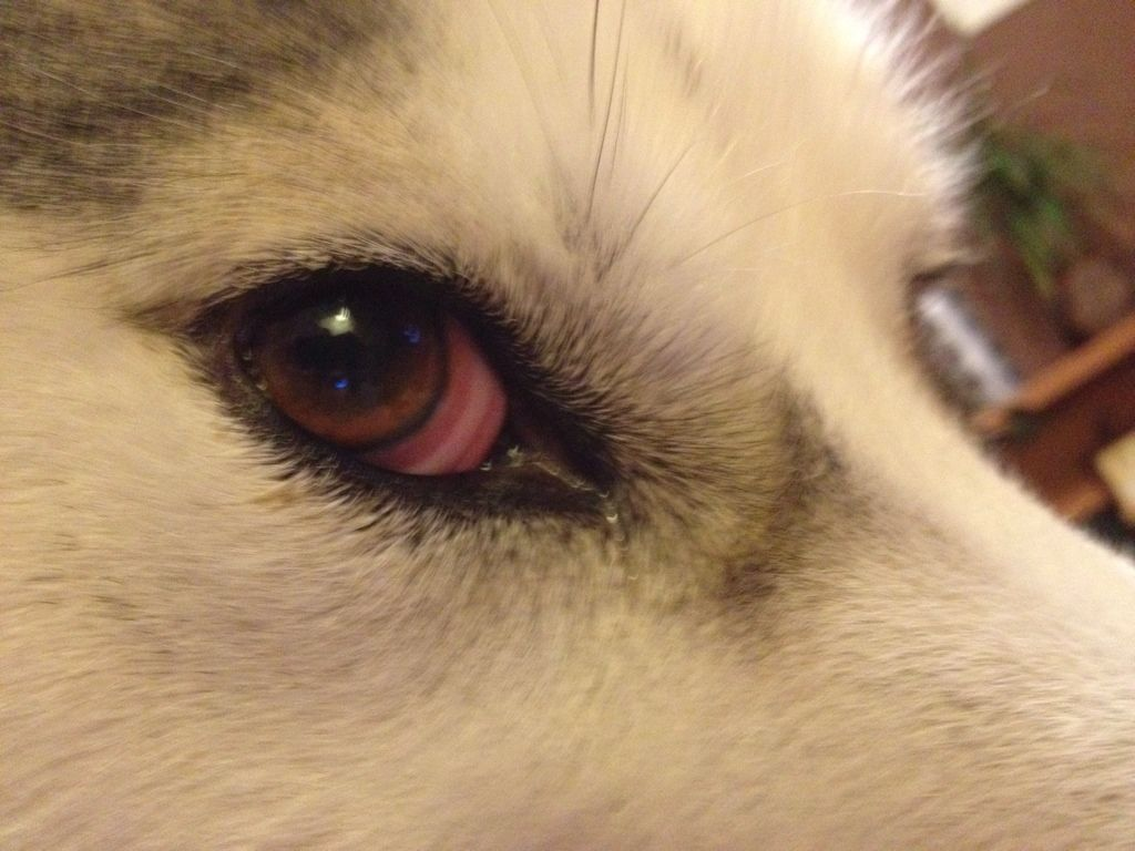 Small Crop Of Dog Pink Eye