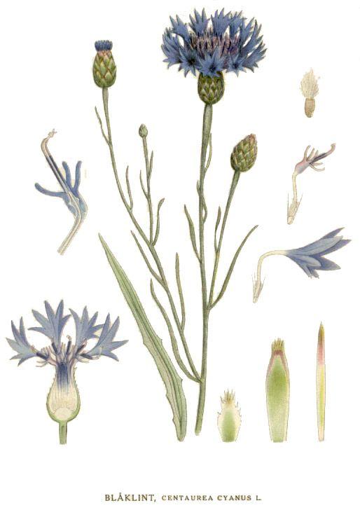 Nordens Flora 007 Blaklint Kornblume Wikipedia Illustration