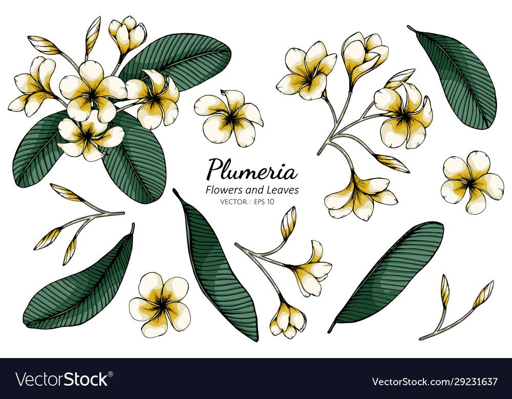 Set Plumeria Flower And Leaf Drawing With Line Vector Image On 2020