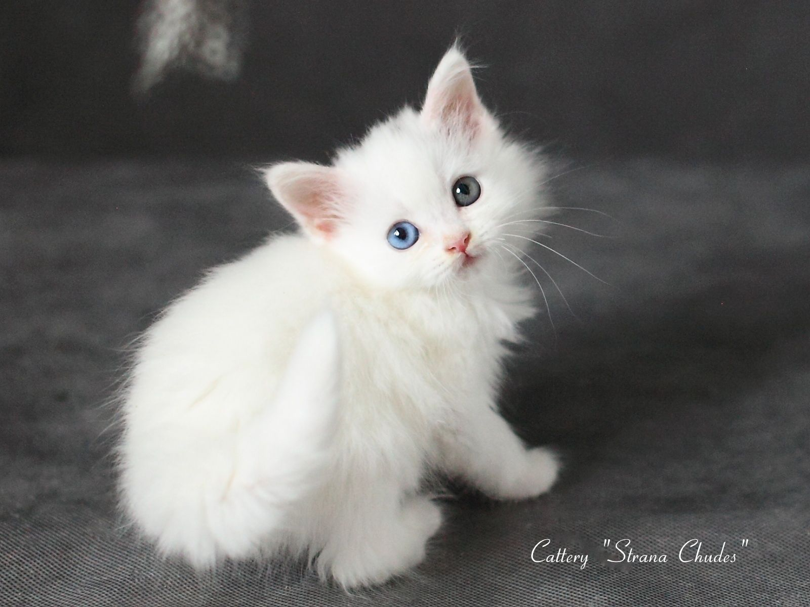 Russian Siberian Beautiful Cute White Kitten For Sale Yanta Strana Chudes Odd Eyes Female B D 2 July 2017 White Kittens Beautiful Kittens Cats And Kittens