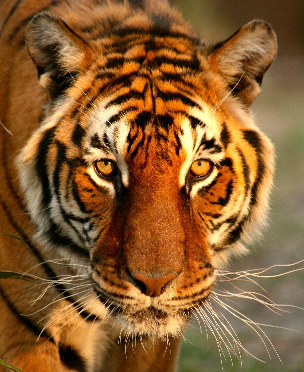 BENGALI ) tiger bigcatrescue caturday bigcats Big