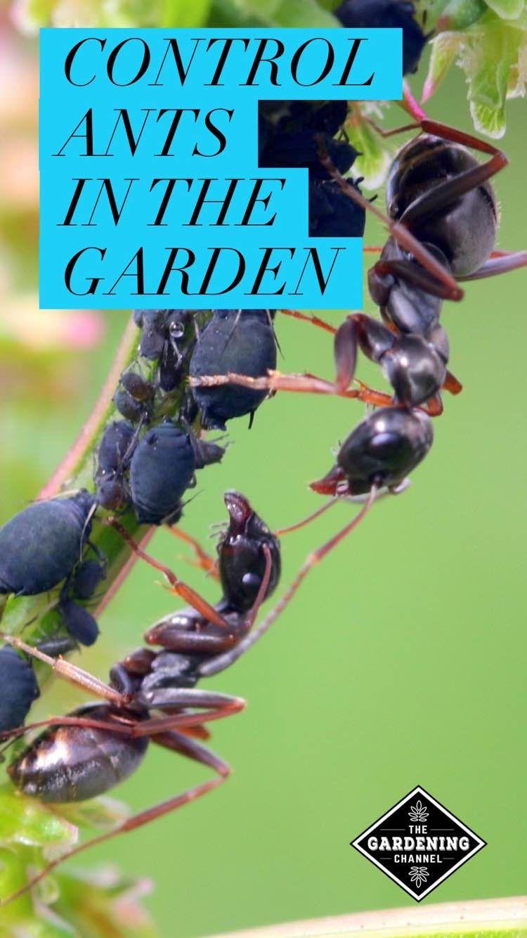c6a24517ceb03cfc5be35ae08abe97a0 - How To Get Rid Of Ants In Vegetable Garden Naturally