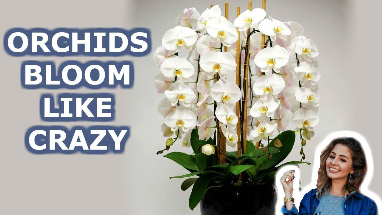 Your Orchid Will Bloom all  Year Round. 7 Growing Orchids Tips You Should Know - YouTube #growingorchids