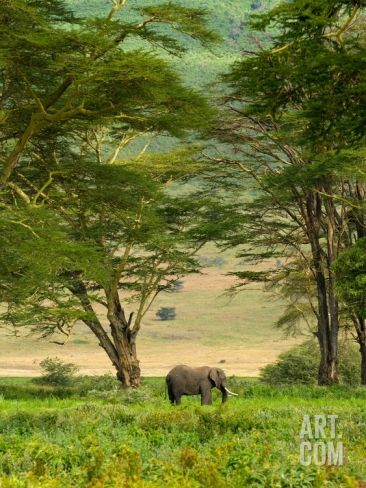 African Elephant in Ngorongoro Crater in Ngorongoro Conservation Area Photographic Print by Blaine Harrington at Art.com