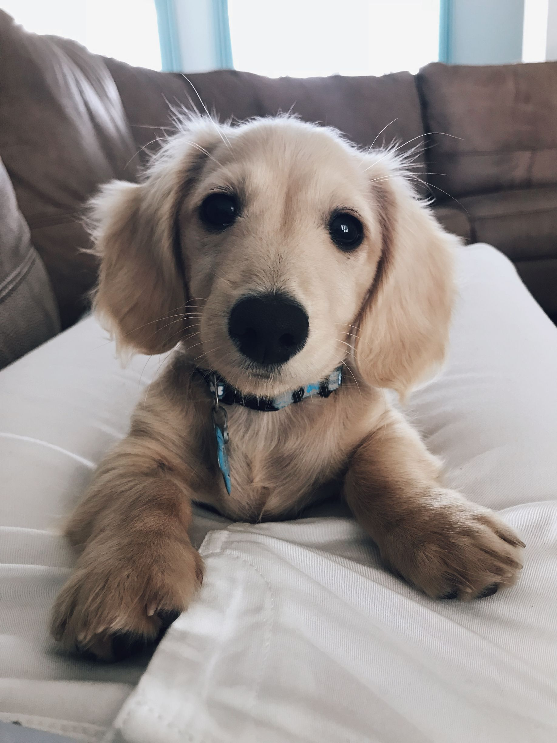 Heart Melting Sir Bailey The English Cream Miniature Dachshund
