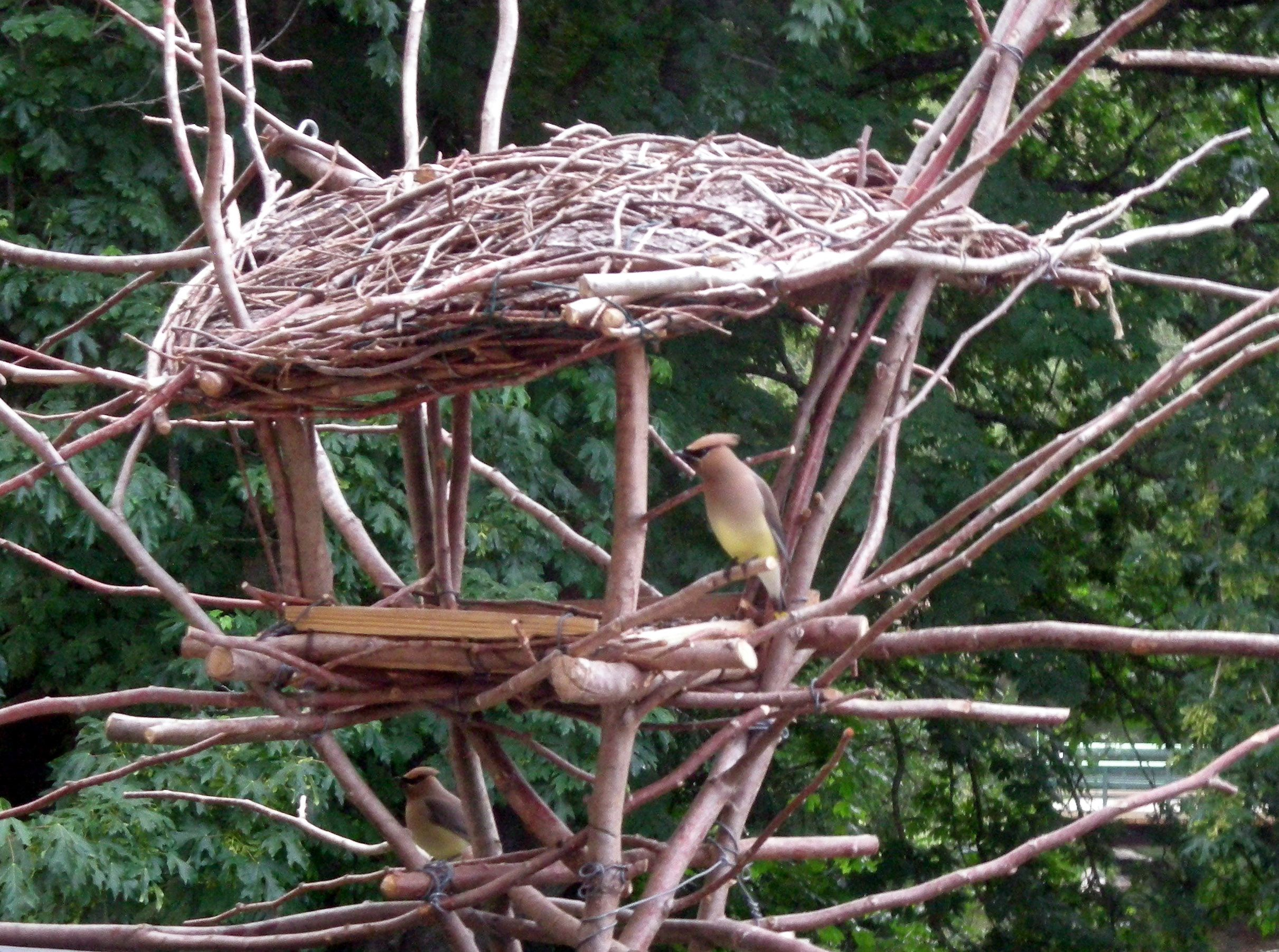 cedar waxwing on custom made bird feeder made from tree branches