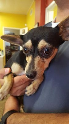 Seattle Wa Chihuahua Meet Violet A Dog For Adoption