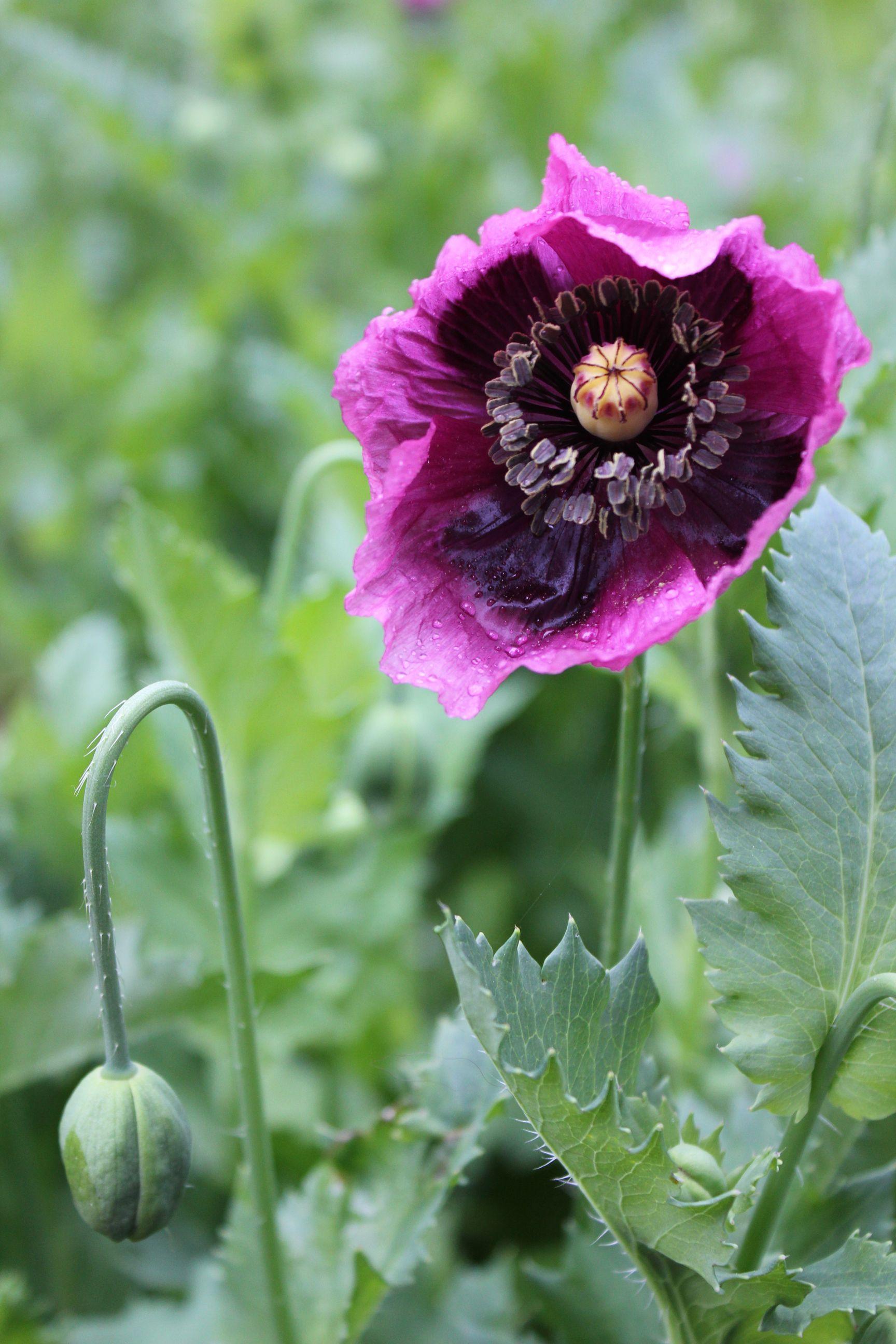 Tricia Guild Trouvais Purple Poppy Flower Lavender Pinterest