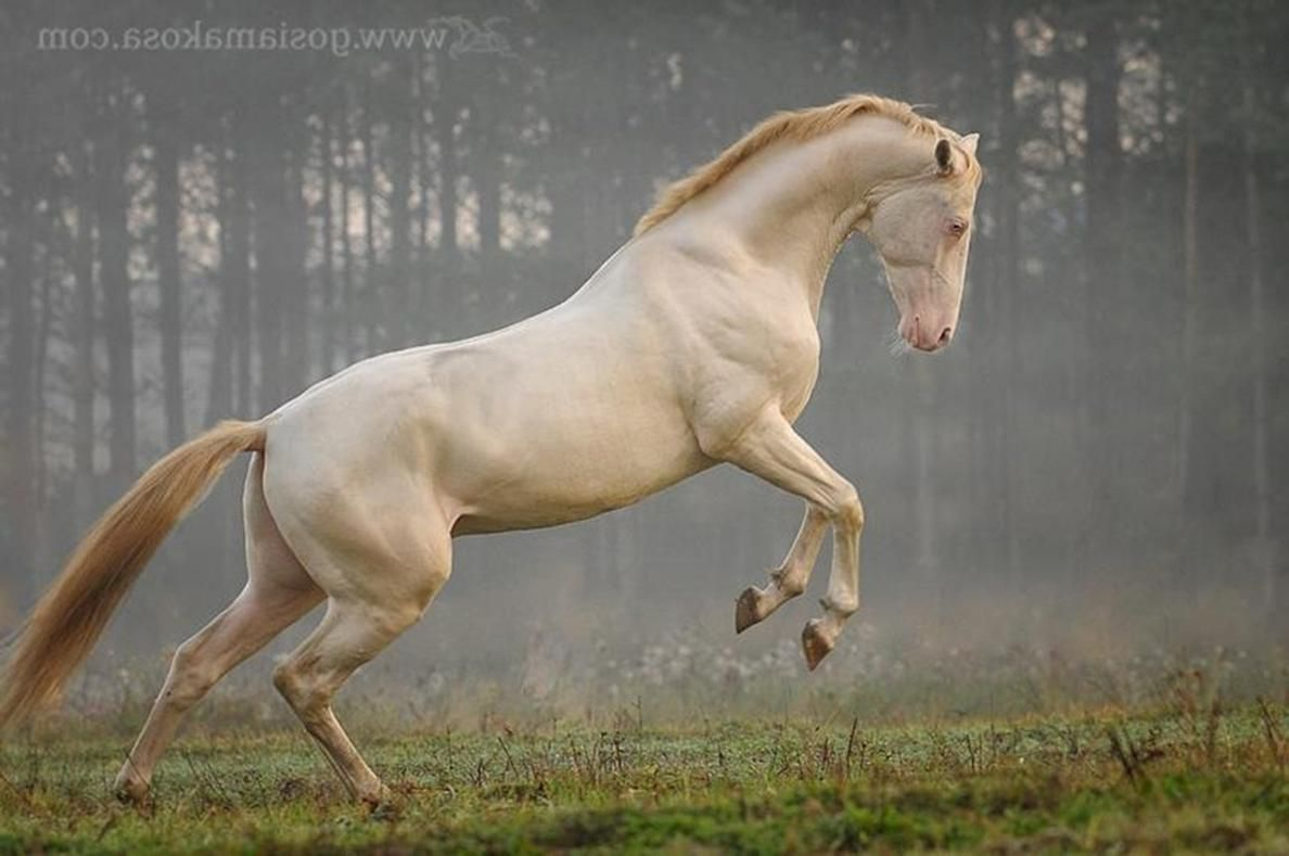 2019 year for lady- Akhal Cremello teke pictures