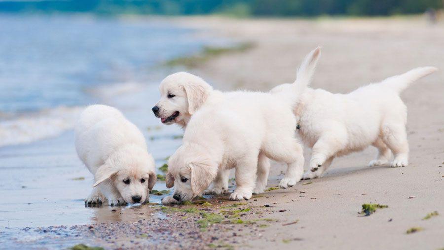 Golden Retriever Puppies Sandbeach Seaside Hd Dog Wallpaper For Apple Mac Iphone Ip Labrador Retriever Dog Labrador Retriever Labrador Retriever Puppies