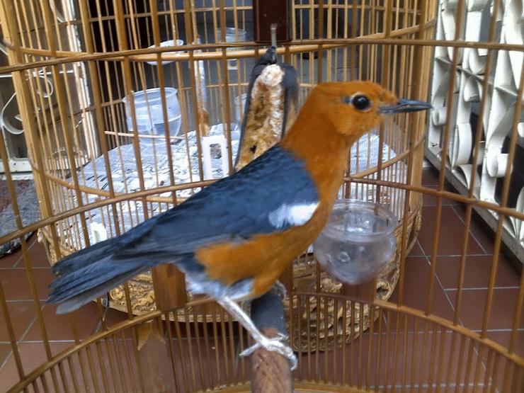 Mengetahui Ciri Dan Penyebab Burung Anis Merah Over Birahi Vogels Vogeltjes