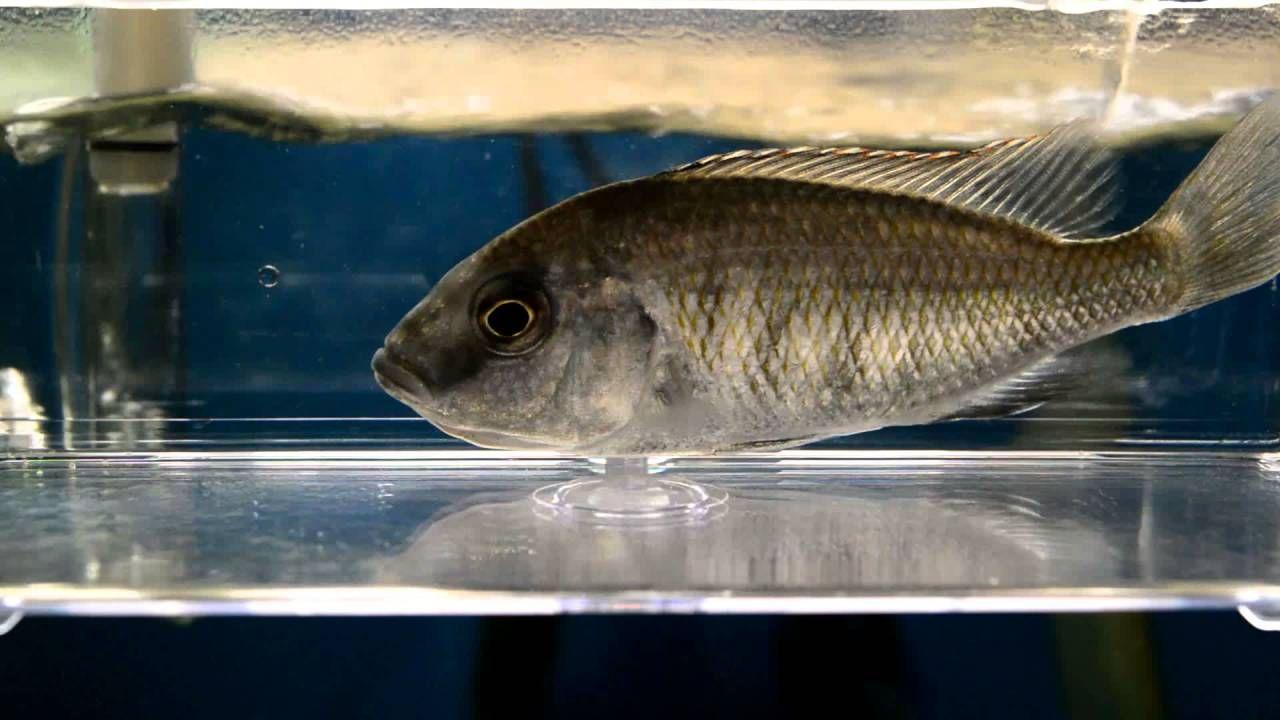African Cichlids Stripping Super Red Empress First Successful Spawn African Cichlids Cichlids African