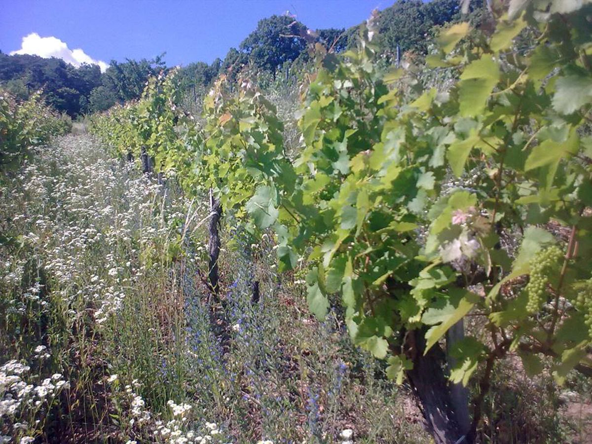 Mit der Natur! Erfahren Sie mehr direkt vom Macher, wie er seine Weingärten bearbeitet und besondere Weine erzeugt: http://averygoodfriend.info/mit-der-natur-im-kamptal-und-der-thermenregion/?live Die Weine von Kurt Kickinger finden Sie hier: http://kickinger.vinovademecum.com