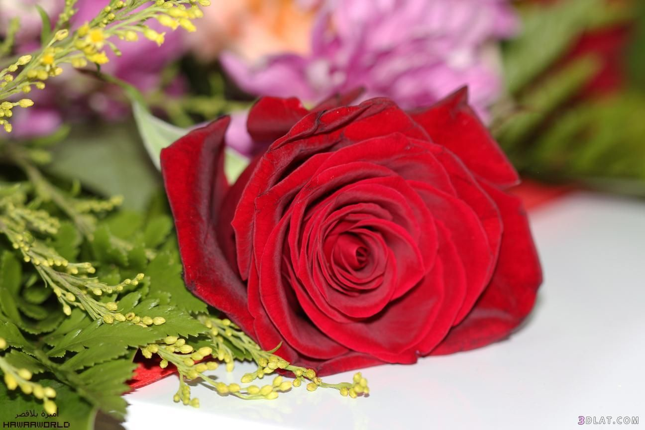 Pin By رغــــــد On Red Red Roses Rose Flowers