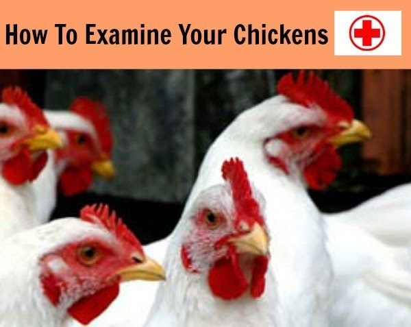 How To Examine Your Chickens Chickens Backyard Chicken Breeds