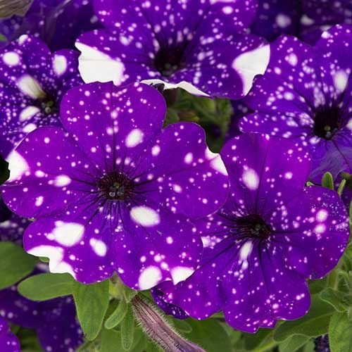 Stunning Petunia Night Sky Features Beautiful Deep Purple