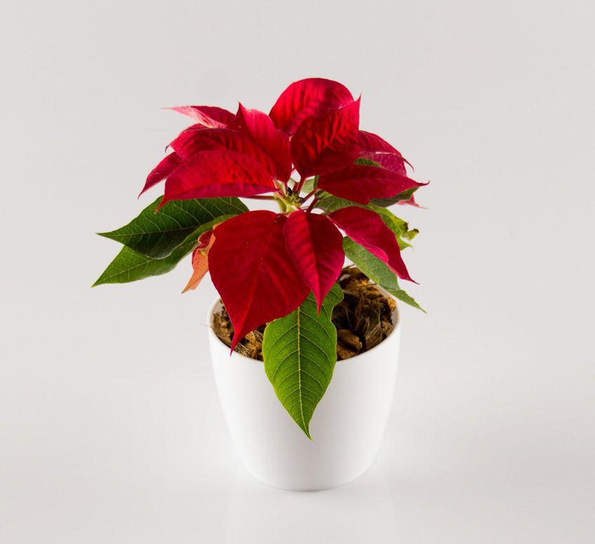 Planta Con Flores Rojas Pequenas