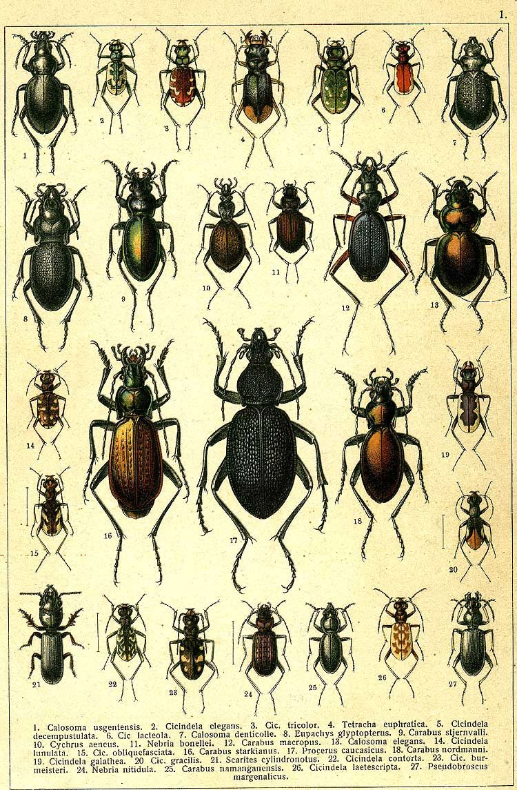 21. Scarites cylindronotus. 22. Cicindela contorta. 23. Cicindela burmeisteri. 24. Nebria nitidula. 25. Carabus namanganensis. 26. Cicindela laetescripta. 27. Pseudobroscus margenalicus.