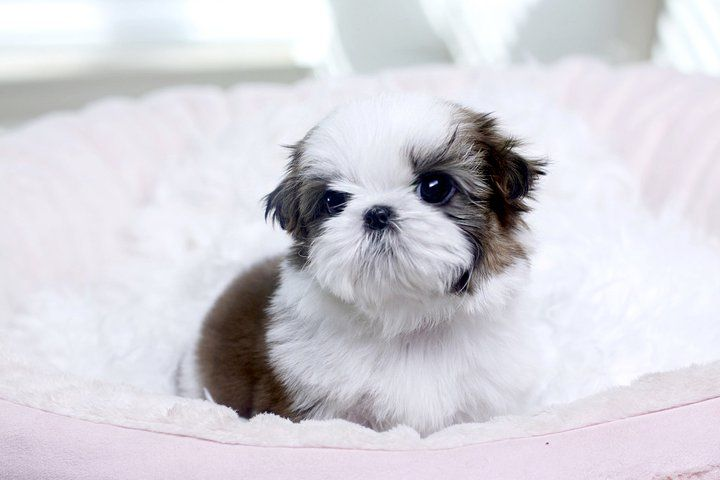Click Here For More Info On This User Shih Tzu Puppy Teacup Shih Tzu Pomeranian Puppy