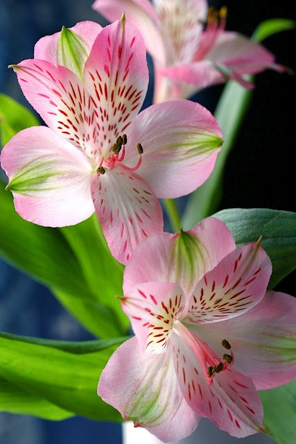 Alstroemeria Also Known As Peruvian Lily Is A Perennial Whose Flowers Resemble Azaleas It Blooms In The Summe Beautiful Flowers Peruvian Lilies Flower Garden